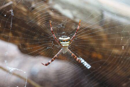 araneae: multicolored Spider with Prey - wasp spider Argiope bruennichi in tropical forest