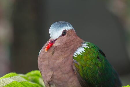 prin: Emerald dove or Green Pigeon, Chalcophaps Indica, bird