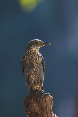 thrush: Blue Rock Thrush bird (Monticola solitarius) standing in nature