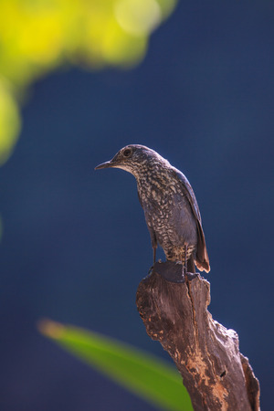 prin: Blue Rock Thrush bird (Monticola solitarius) standing in nature