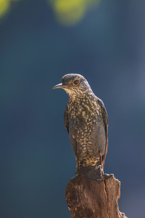 prin: Roquero solitario pájaro (Monticola solitarius) que se coloca en la naturaleza