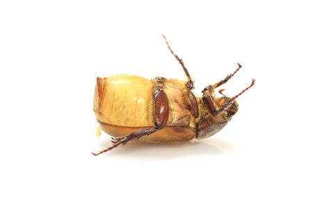 scarabaeidae: Cockchafer or  May bug on white background
