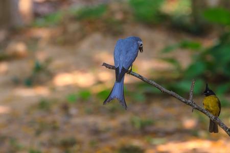 ashy: Ashy Drongo (Dicrurus leucophaeus)  and Black-crested Bulbul in nature of Thailand
