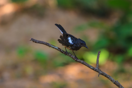 thai stretch: Oriental Magpie Robin bird perched on a tree