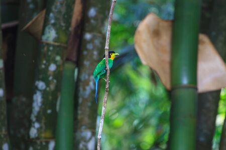 yellow tailed: colorful bird long tailed broadbill on tree branch in forest