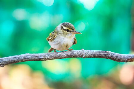insectivorous: Yellow-browed Warbler (Phylloscopus inornatus) on the branch in nature Stock Photo