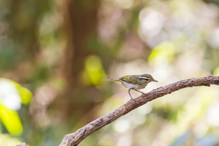breeder: Yellow-browed Warbler (Phylloscopus inornatus) on the branch in nature Stock Photo
