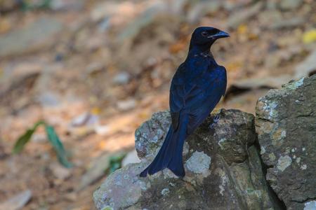 ashy: Black drongo, Dicrurus Macrocercus, beautiful bird in forest Stock Photo