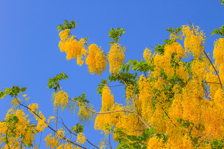 the drumstick tree: Cassia Fistula in clear blue sky. national tree of Thailand in summer