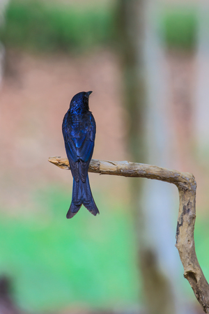 endanger: Black drongo, Dicrurus Macrocercus, beautiful bird in forest Stock Photo