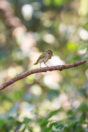 naturalistic: Yellow-browed Warbler (Phylloscopus inornatus) on the branch in nature Stock Photo