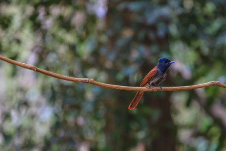 perching: Bird in nature, asian paradise flycatcher perching on a branch