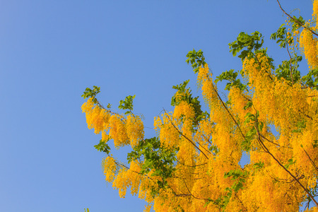 drumstick tree: Cassia Fistula in clear blue sky. national tree of Thailand in summer
