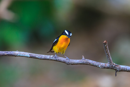 fascinate: Male Yellow-rumped flycatcher (Ficedula zanthopygia) in nature of Thailand