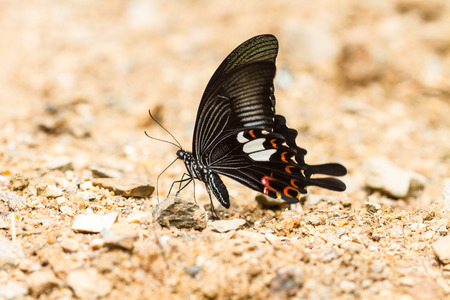 buckeye flower: Beautiful Butterfly on ground in tropical forest Stock Photo