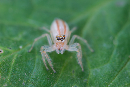 eight legs: close up Jumping Spider on green  leaf background