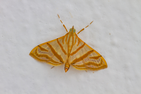 entomology: Close up of moth,night butterfly,Beautiful Insect on white wall Stock Photo