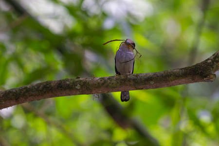 stock chart: colorful bird Silver-breasted broadbill (Serilophus lunatus) on tree branch