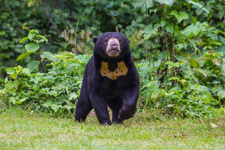 Malayan sun bear, Honey bear (Ursus malayanus) in real nature