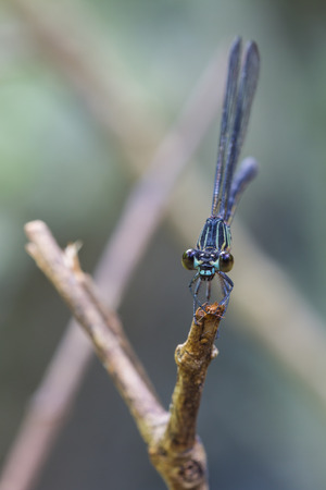 odonata: beautiful dragonfly resting on a branch in forest