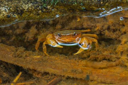 crustacean: Fresh water crab,Crab crustacean in rainforest