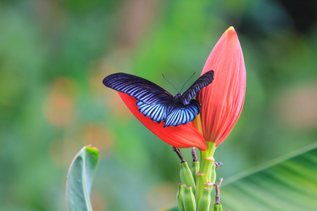 forewing: Black male great mormon open wing on tree in nature Stock Photo
