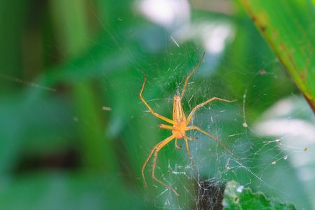 golden orb weaver: Close up spider in forest, abstract in nature background