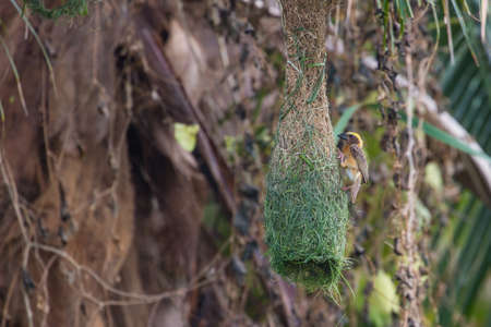 Streaked Weaver (Ploceus manyar) resting on a branch in forest
