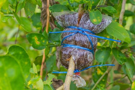 sanguijuela: Grafting on tree branch of Leech lime or bergamot