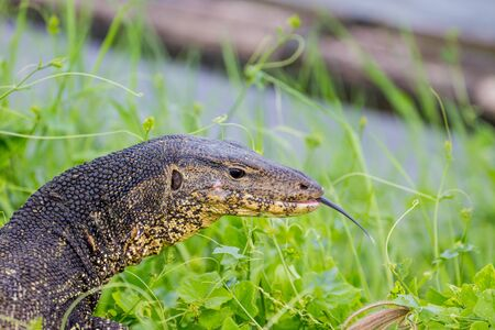 endanger: close up Water monitor lizard, Varanus on green grass