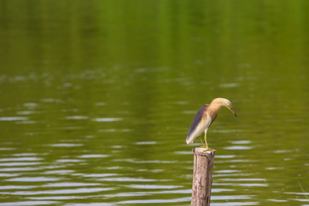 bacchus: Chinese Pond Heron in the nature, Thailand