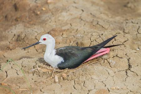 Black-winged Stilt (Himantopus himantopus) on the nest