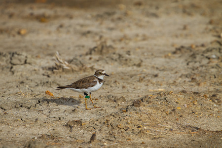 ringed: Little ringed plover (Charadrius dubius) with label on leg