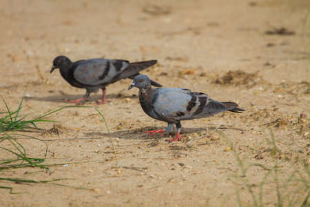 h5n1: rock pigeon on ground, (Columba livia) in nature, Thailand