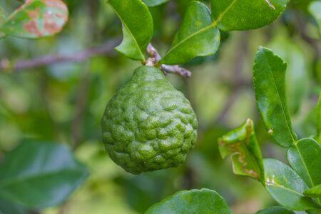 sanguijuela: Leech lime or bergamot fruits on tree in garden