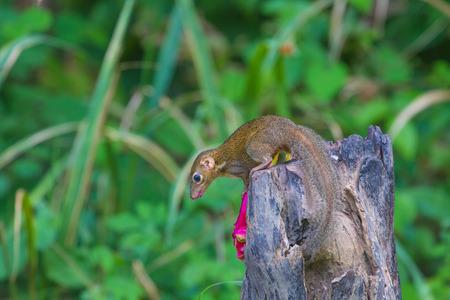Common treeshrew or Southern treeshrew (Tupaia glis) in forest of Thailand 版權商用圖片