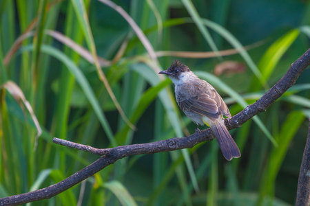 sooty: Beautiful bird Sooty headed Bulbul perched on wooden (Pycnonotus aurigaster) Stock Photo