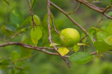 florida citrus: Lime tree with fruits closeup, Green lemon on tree