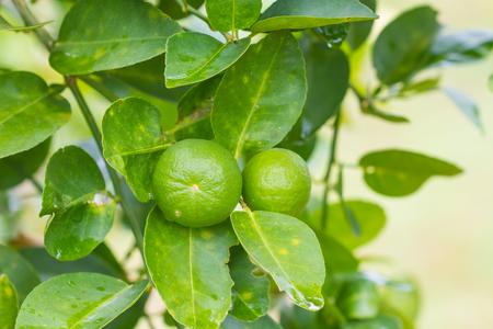 florida citrus: Lime tree with fruits closeup, Green lemon on tree