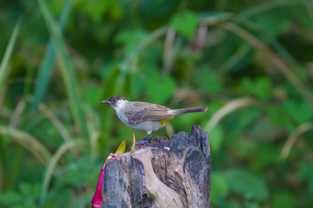 Beautiful bird Sooty headed Bulbul perched on wooden (Pycnonotus aurigaster) Stock Photo