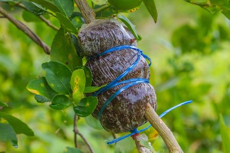 leech: El injerto en la rama de árbol de la sanguijuela cal o bergamota Foto de archivo