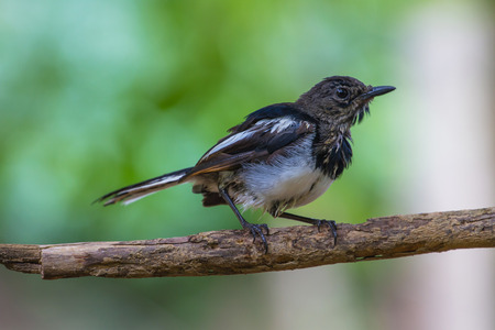 Oriental Magpie Robin bird perched on a tree