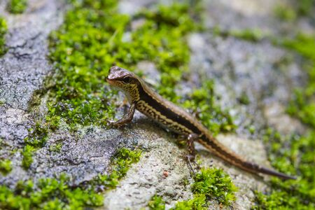Common Forest Skink (Sphenomorphus maculates) in forest Stock Photo