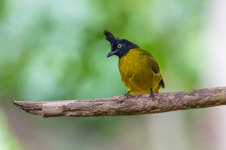 Beautiful bird Black-crested Bulbul , Pycnonotus melanicterus  perched on a branch
