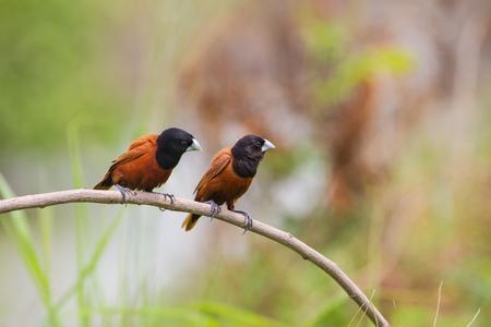 black headed: Chestnut Munia perching on a branch, Black headed Munia on a branch. (Lonchura malacca)