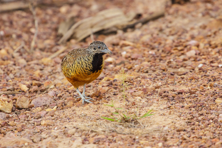 Beautiful bird, female Barred Buttonquail (Turnix suscitator), standing on the ground Stock Photo