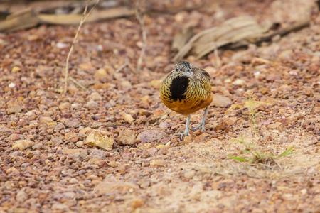 barred: Beautiful bird, female Barred Buttonquail (Turnix suscitator), standing on the ground Stock Photo