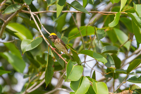 WEAVER: Streaked Weaver (Ploceus manyar) resting on a branch in forest