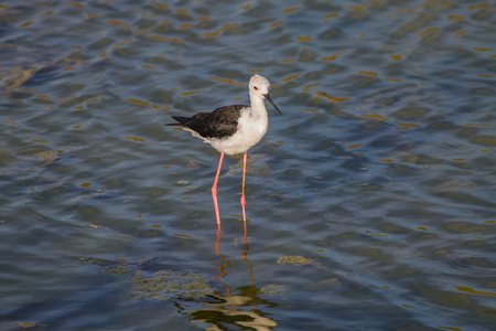 himantopus: Black-winged Stilt (Himantopus himantopus) on the water Stock Photo