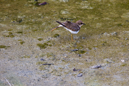 ringed: Little ringed plover (Charadrius dubius) in nature, Thailand Stock Photo